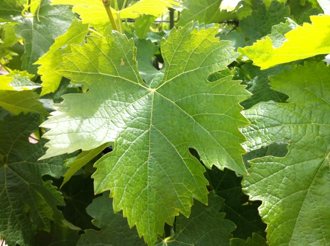 Domestic Grape Leaf