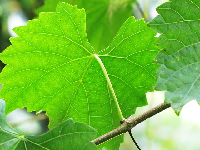 Wild Grape Leaf