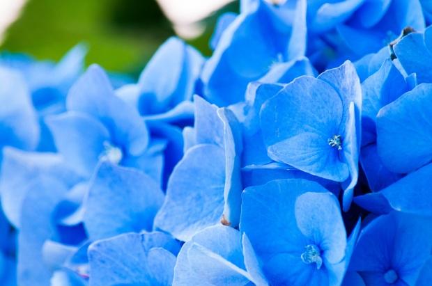 blue hydrangea (1)